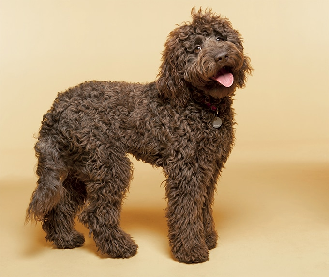 Labradoodle - a dog breed that does not shed