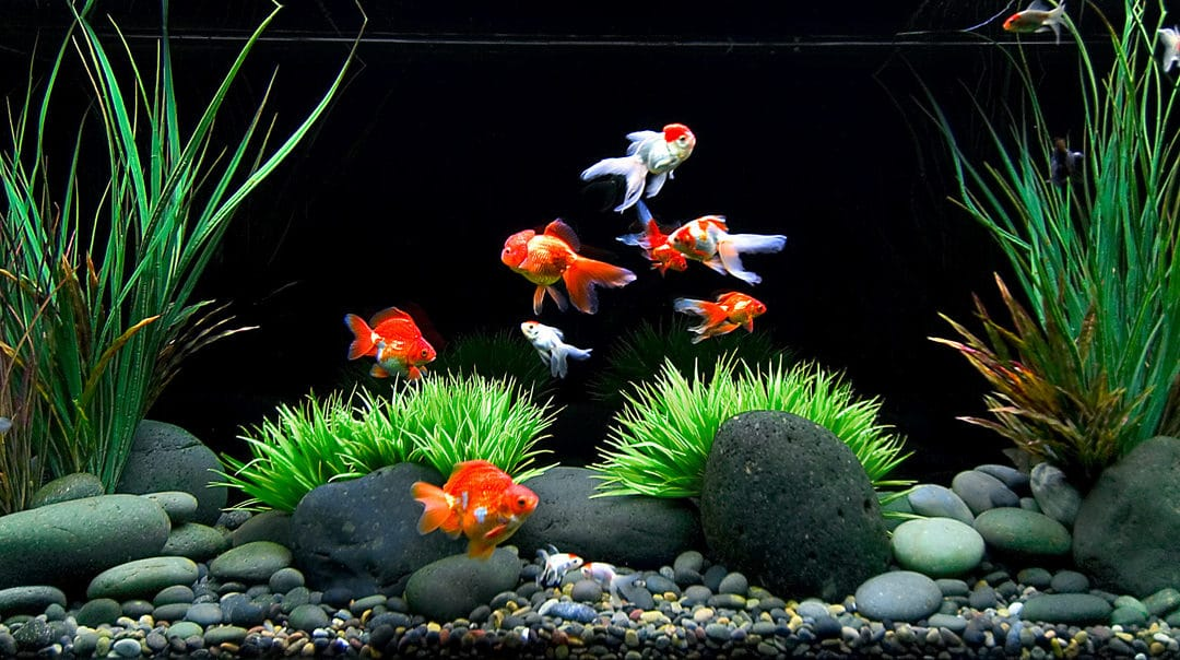 How to care for a goldfish food tank water and other for What fish can live with goldfish