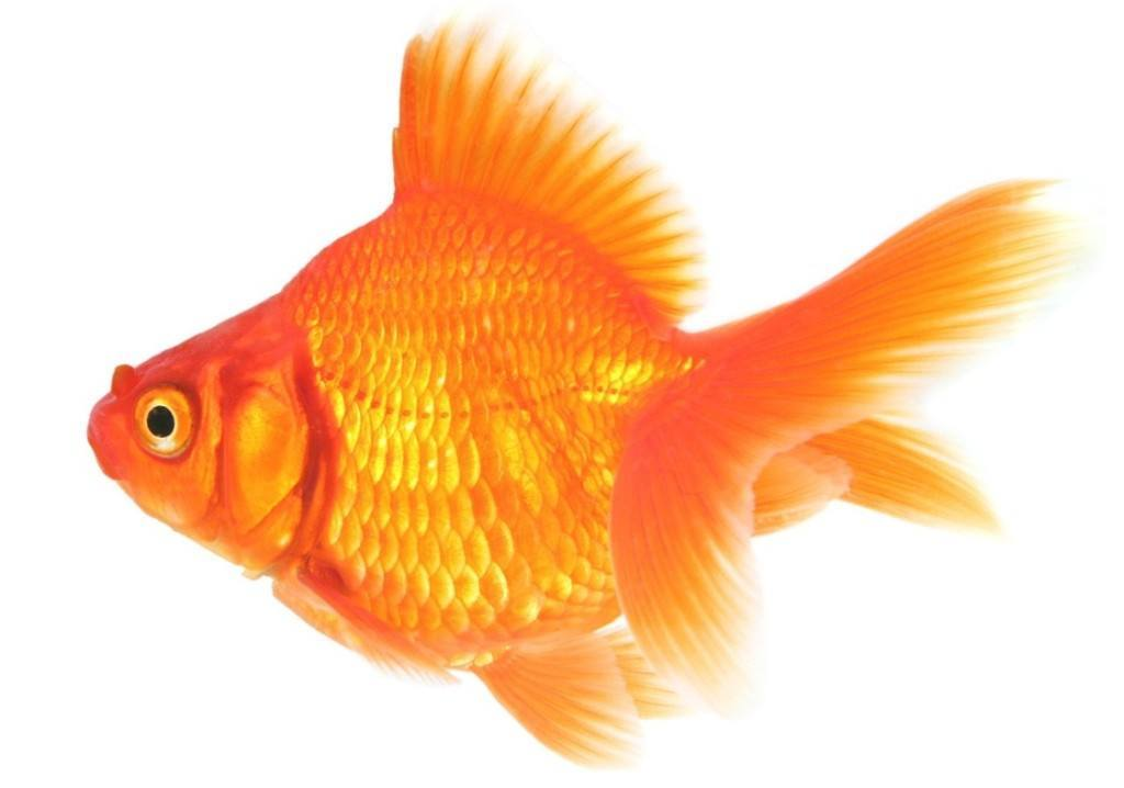 Healthy Goldfish - How to care for a goldfish