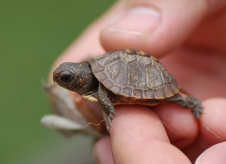 Pet Turtles that Stay Small